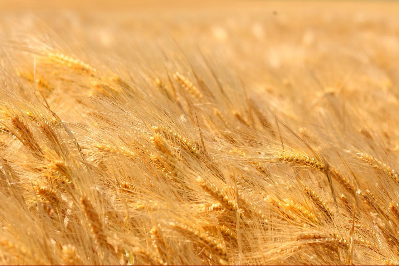 Chwasty w pszenicy